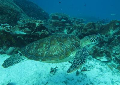 Komodo želva